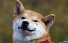 Shiba Inu, Dogelon Mars, Pig Finance: Bu Fiyatlar Bir Giriş Noktası Olabilir mi?